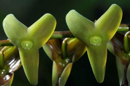 El descubrimiento de una nueva orquídea en Colombia: apareció en los Farallones de Cali