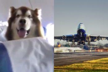 Un perro enorme viaja junto a su dueña con discapacidad en un vuelo comercial y da ejemplo