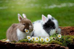 El conejo, tierno animal declarado en peligro de extinción