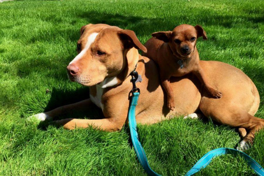 La pitbull que no se quería dejar adoptar si no iba con su fiel amigo, ¡una amistad hermosa!