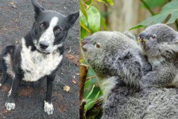 Perritos que salvan a ovejas y koalas de incendios en Australia ¡Valentía canina!