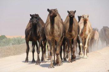Mataron 5 mil camellos en Australia por buscar agua desesperadamente, ¡las razones son increíbles!