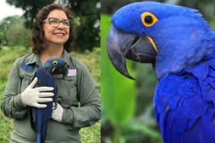 Bióloga que salvó al guacamayo azul de la extinción compite por un premio