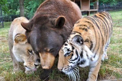 El oso, el león y el tigre que son hermanos hace 19 años ¡Un amor que no distingue nada!
