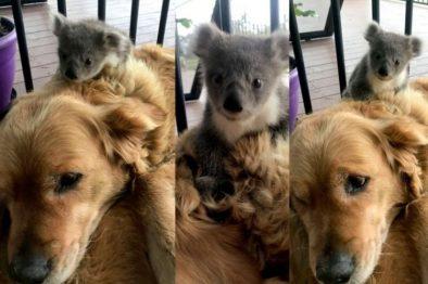 La verdadera e increíble historia detrás del Golden Retriever que rescató un koala