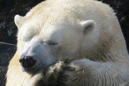 El peligro de extinción de los osos polares, en aumento por los 'cazadores de trofeos'