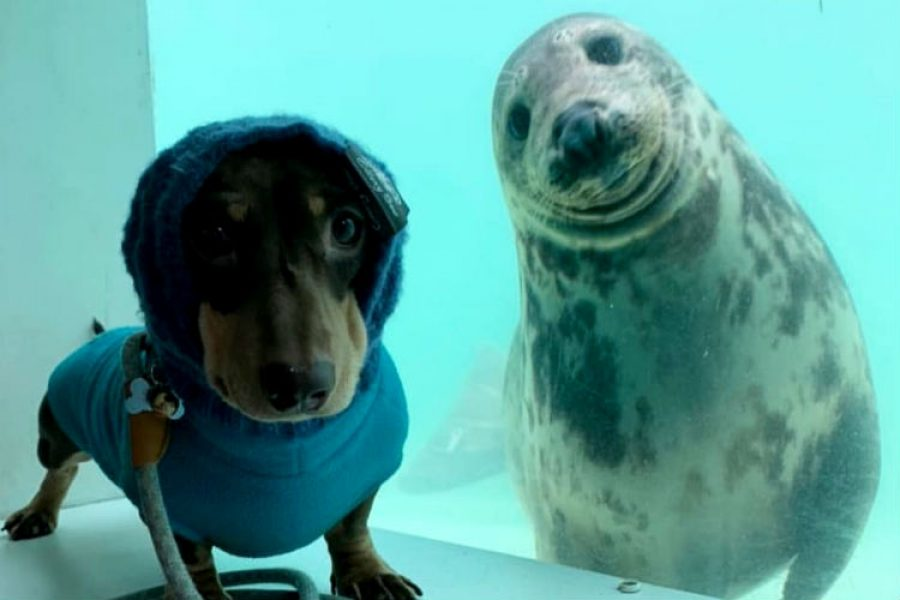 Foca bebé y perro salchicha demuestran que los animales tienen un gran corazón, ¡una historia de amistad!