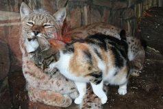 Gato doméstico se cuela en un zoológico y se hace amigo inseparable de un lince