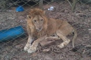 Así murió el león Jupiter: un 'rey de la selva' con un triste final de vida