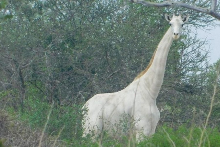 Cazadores furtivos asesinan un rara jirafa blanca y su cría en Kenia