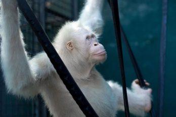 El único mono albino del mundo, en perfectas condiciones ¡un milagro que sobrevive!