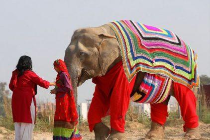 Tejen pijamas gigantes para proteger a los elefantes de frío