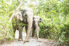 Liberan 78 elefantes de esclavitud por falta de turistas en medio del COVID-19