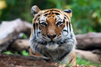 Tigresa en zoológico dio positivo de COVID-19