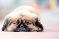 China prohíbe la crianza de perros para el consumo humano en medio del COVID-19