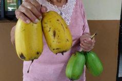 'Plátano cuadrado', el producto que presentan los campesinos colombianos