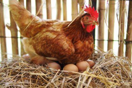 ¿Qué fue primero, el huevo o la gallina? Científicos dan sorpresiva respuesta