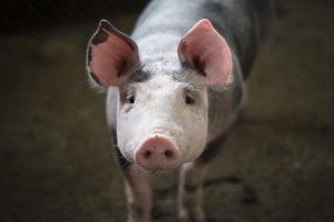 """Descubren virus con """"potencial de ser pandemia"""": es nueva cepa de gripe porcina"""
