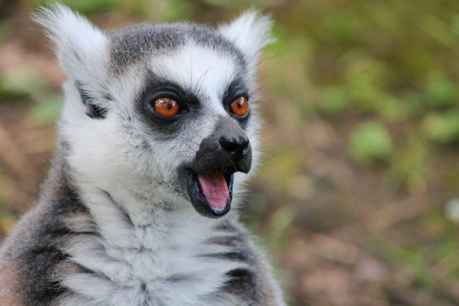 Hámster, lémures y otras especies en peligro de extinción ¡Triste noticia!