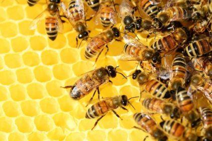 Colombia se podría quedar sin abejas durante la próxima década