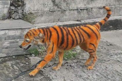 Buscan al maltratador que pintó a un perro para que se viera como un tigre