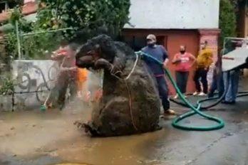 La historia de la 'rata gigante' hallada en una alcantarilla: la dueña aclaró la situación