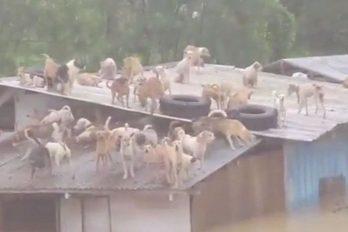 Suben 65 perros al techo de un refugio para salvarlos de una terrible inundación