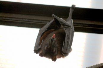 Alerta en comunidad científica por virus de murciélagos que podría contagiar a humanos