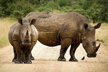 Disminuye la caza furtiva de rinocerontes ¡Excelente noticia para la naturaleza!