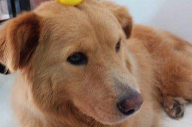 El triste final del perro que iba a ser el primero en Colombia en tener un marcapasos