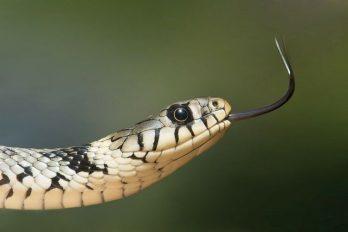 Niño estaba a punto de abrir un paquete de lechugas y encontró una serpiente venenosa