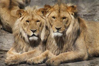 ¡Fin a los leones en cautiverio! Este país da ejemplo