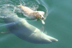 Ben y Duggie: un perro y un delfín que nadan juntos. ¡Son bellísimos!
