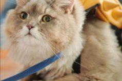 Conoce a 'Bone Bone', el enorme y esponjoso gato que ya es una celebridad en redes sociales