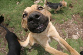 Los perritos radioactivos de Chernóbil que nadie puede acariciar
