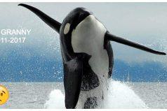 Fallece a los 105 años Granny, la orca más anciana del mundo