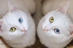 Estas son las gatitas gemelas más hermosas del mundo