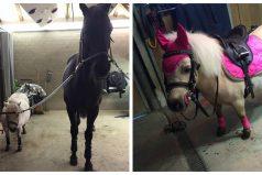 El pony más mimado de todo Suiza tiene una condición especial y te robará el corazón