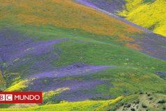 El inmenso manto de flores que apareció en California tras años de sequía (y se ve desde el espacio)