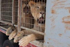 El dueño de un circo en España donó los animales salvajes que usaba en los espectáculos