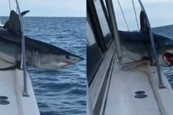 Tiburón se subió al barco de un pescador y luchó para liberarse