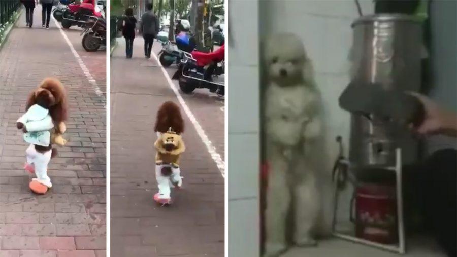 La triste historia de maltrato detrás de los perritos que caminan erguidos