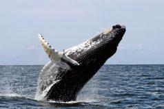 Las ballenas se están comportando muy extraño y nadie sabe por qué