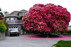 Un arbusto florece en un pequeño pueblo de Canadá y su foto se vuelve viral
