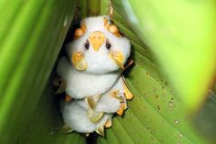 ¡Qué hermosos! Descubre a los adorables murciélagos blancos