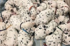Esta dálmata casi rompe el récord de tener 101 cachorros pero solo llegó a tener…