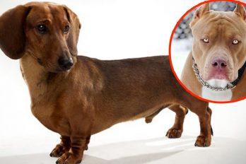Así es lo que resulta de una mezcla entre perro salchicha y un Pitbull. Jamás lo vi venir