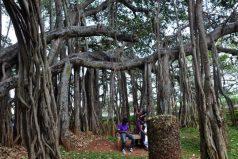 El bosque indio de 19.000 metros cuadrados formado… ¡Por un solo árbol!