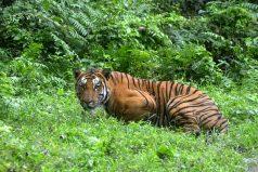 El asombroso primer registro de un 'tigre pálido'