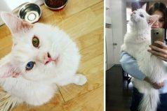 Tiho, el gigante gatito de ojos diferentes que le encanta abrazar y dar amor